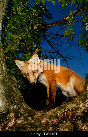 Young Red fox, Vulpes fulva,  kit sitting in crook of tree branches looking down in evening, Missouri, USA - Stock Photo