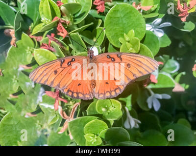 Gulf fritillary (aka passion butterfly) feeding on Star Jasmine. - Stock Photo