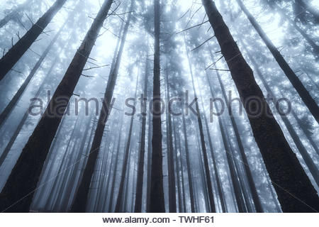 Silhouettes of tree trunks in a dark and foggy autumn forest. Creepy natural background. Suitable for horror, Halloween. - Stock Photo