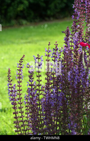 Hain-Salbei , Steppen-Salbei (Salvia nemorosa) - Hybride - Stock Photo