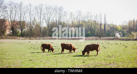 Family of three Scottish Highland cattle in green fields eating vibrant green grass - Stock Photo