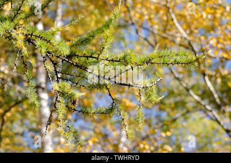 Bright fluffy branches of larix tree. Sunny photo of larch tree. Fall sunny day. - Stock Photo