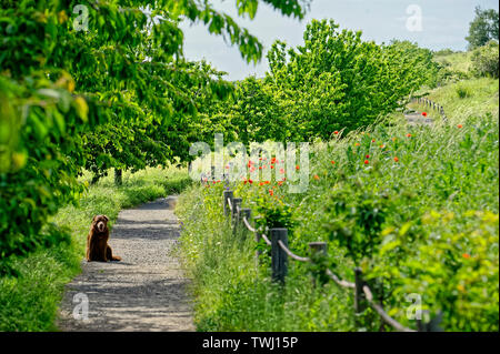 Labrador,short-haired Type,on the country road ,Devil's wall in the Harz National Park,Germany. - Stock Photo