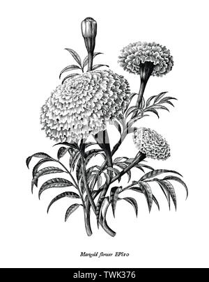 Marigold flower hand draw vintage style black and white clip art isolated on white background - Stock Photo
