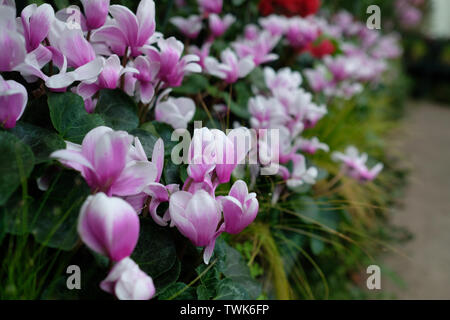 close up pink and white flower in the garden with green in the background - Stock Photo