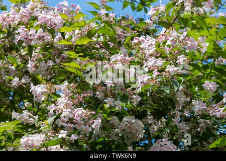 Linnaea amabilis or Beauty Bush or Kolkwitzia shrub - Stock Photo