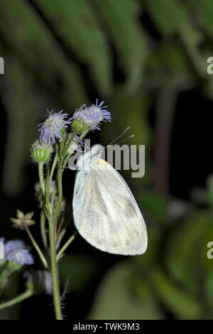 Cabbage white, Pieris brassicae, Namdapha Tiger Reserve, Arunachal Pradesh, India. - Stock Photo