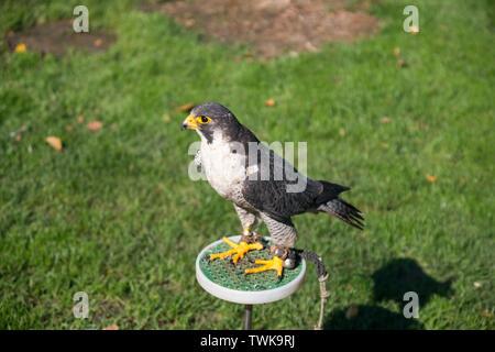 Falco peregrinus, Peregrine Falkon - Stock Photo