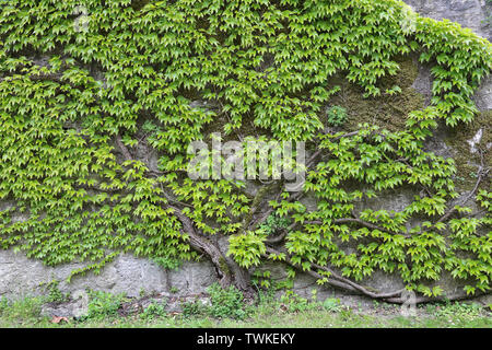 Green leaves of wild grapes weaving on a stone wall - Stock Photo