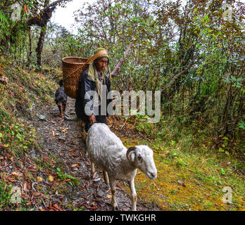 Khopra, Nepal - Oct 22, 2017. A local man with goats walking on trail of Annapurna Circuit Trekking in Khopra, Nepal. - Stock Photo