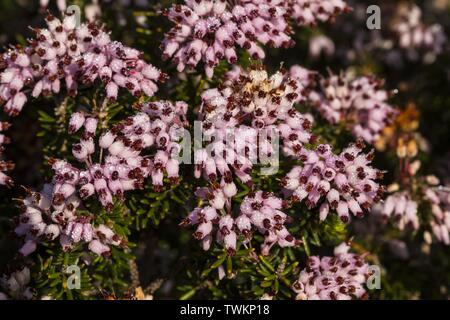 Dew laden fowering Inflorescences, arranged in racemes of the Mediterranean heath Erica multiflora, in garrigue, Salina, Malta, Mediterranean - Stock Photo
