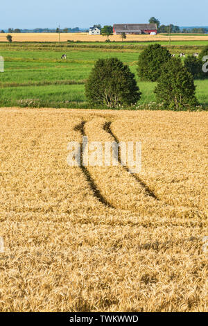 Cornfield with cows on a field - Stock Photo
