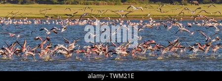 Flamingoes Lesser Flamingos Phoenicoparrus minor flock flying and feeding in water Amboseli National Park Kenya East Africa - Stock Photo