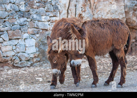 Portrait of two brown donkeys during courtship - Stock Photo