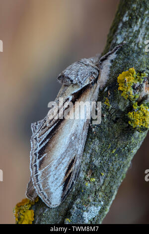 Swallow the prominent moth - Pheosia tremula at rest camouflaged on a trunk - Stock Photo