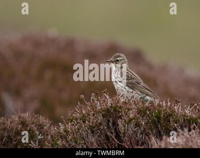 Meadow Pipit (Anthus pratensis) perched on top of heather, North Uist, Outer Hebrides, Scotland - Stock Photo