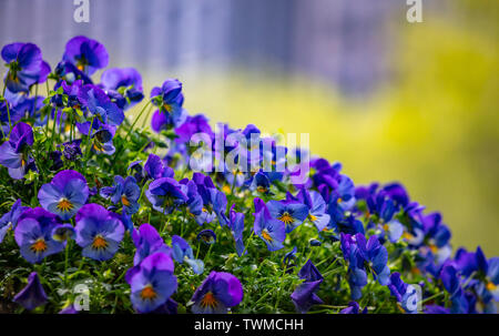 Blue purple color pansies in a pot, sunny spring day. New York streets downtown. Close up view - Stock Photo
