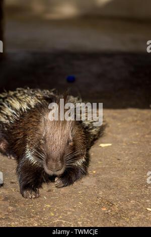 An sleeping hedgehog - Stock Photo