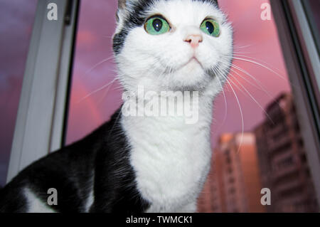 Black and white surprised and funny cat with big green eyes sits on the window against the pink sunset and looks at the owner with curiosity. - Stock Photo