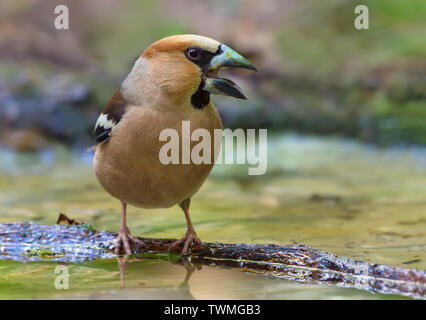 Male hawfinch crying on small branch in water pond - Stock Photo