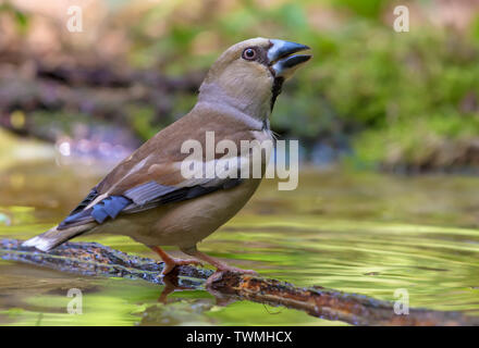 Female Hawfinch drinks water posing in a mossy pond in spring - Stock Photo