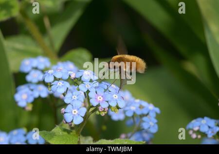 Bombylius major, large bee-fly - Stock Photo