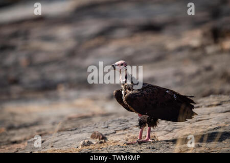 red headed vulture or sarcogyps calvus or pondicherry vulture close up with expression sitting on rocks at Ranthambore Tiger Reserve National Park - Stock Photo
