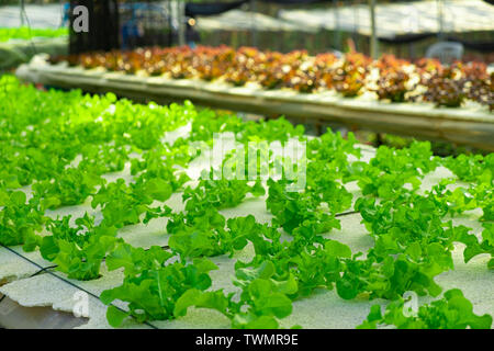 Vegetable green oak growing in hydroponic system flow water and fertilizer automation on planting plot, Eco organic modern smart farm 4.0 technology