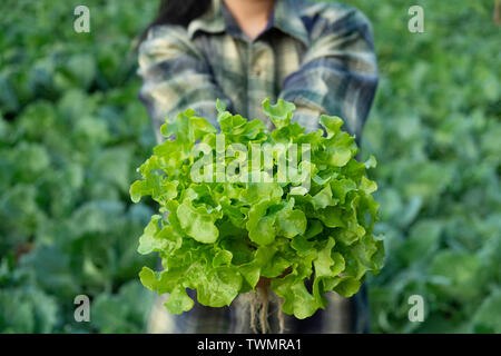 Vegetable green oak growing in hydroponic system flow water and fertilizer automation on planting plot, Eco organic modern smart farm 4.0 technology - Stock Photo