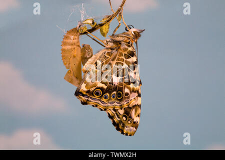 A Painted Lady butterfly, Vanessa cardui, just after eclosing (emerging) from its chrysalis. - Stock Photo