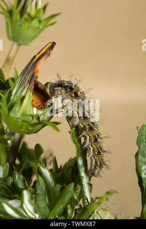 The larva or caterpillar of a Painted Lady Butterfly, feeding on a host plant, in the Cascade Mountains of central Oregon. - Stock Photo