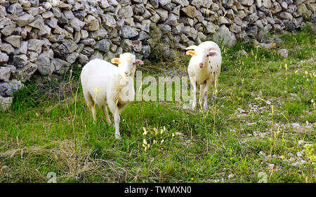 White young lambs on the pasture on the meadow with healthy herbs in front of the traditional dry stone wall on the Croatian Island of Pag - Stock Photo