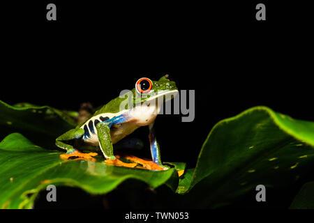 Red-eyed Tree Frog (Agalychnis callidryas) in Costa Rica
