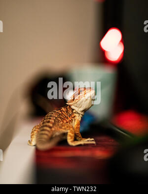 Young bearded dragon in focus with a blurry background, standing on a desk turned and looking at the camera. - Stock Photo
