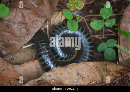 Giant millipedes in Limones de Tuabaquey, a Cuban forest reserve - Stock Photo