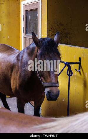 Young bay horse in yellow stable - Stock Photo