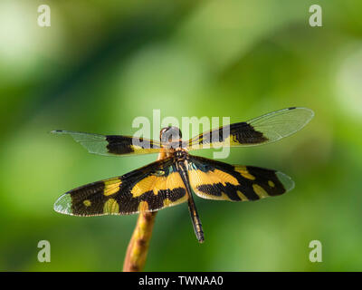 Common Picture Wing Dragonfly (Rhyothemis variegata) - Stock Photo