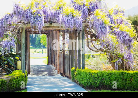 Image of Wisteria Flowers hanging on a garden bridge support - Stock Photo