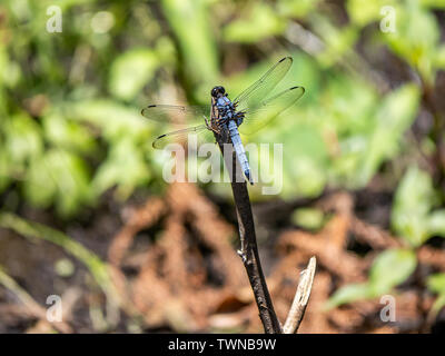 A male white-tailed dragonfly, Orthetrum albistylum, rests on the end of a small twig in a small Japanese park. - Stock Photo