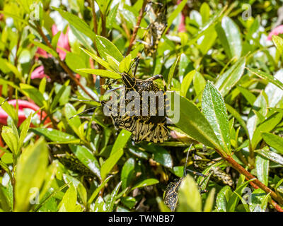 A yellow spotted stink bug, erthesina fullo, on a hedgerow of azalea bushes as part of a swarm of these insects. - Stock Photo