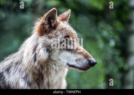 European gray wolf, Canis lupus, wolf portrait, Germany Saxony, Europe - Stock Photo