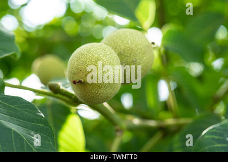 Fruits of a walnut on a branch of a tree in the yellow warm rays of the summer sun - Stock Photo