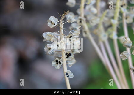 Blue Hyacinth Muscari Flower Gone to Seed - Stock Photo