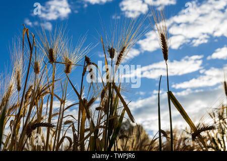 Barley, Hordeum vulgare, cebada, crop growing in Luquina Chico, Lake Titicaca, Peru, South America - Stock Photo