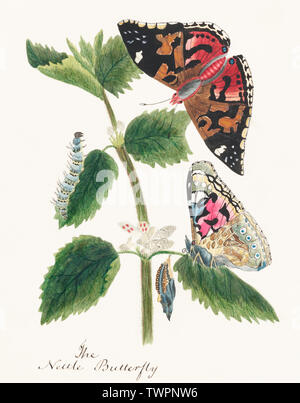 Antique watercolor illustration of nettle butterfly in various life stages published in 1824 by M.P. Original from New York public library. Digitally enhanced by rawpixel. - Stock Photo