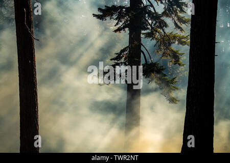 Smoky woods, conifers, Prescribed burn, Yosemite National Park, California, USA, by Bill Lea/Dembinsky Photo Assoc - Stock Photo