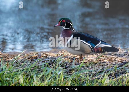 Wood Duck, drake, Aix sponsa), E North America, by Dominique Braud/Dembinsky Photo Assoc - Stock Photo