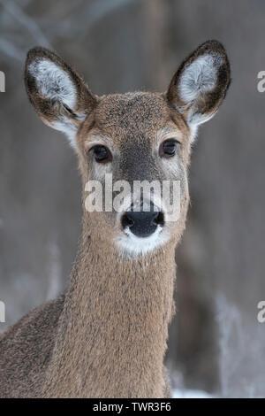 White-tailed deer doe (Odocoileus virginianus), December, E USA, by Dominique Braud/Dembinsky Photo Assoc - Stock Photo