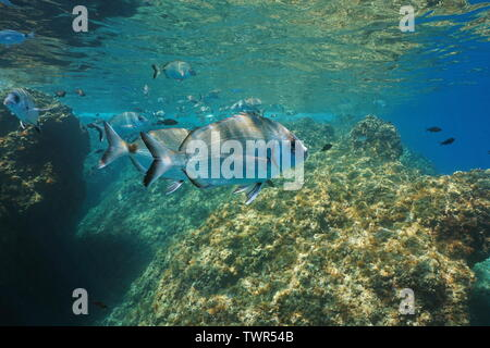 Sargo seabream fish, Diplodus sargus, underwater Mediterranean sea, France - Stock Photo