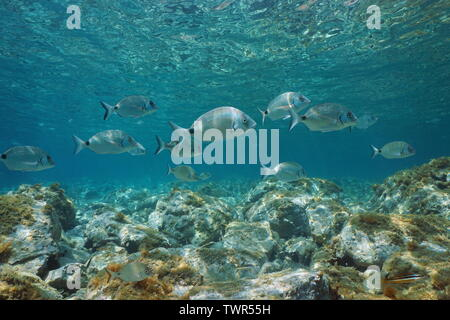 Sargo seabream fish, Diplodus sargus, underwater in Mediterranean sea between water surface and rocks on the seabed, France - Stock Photo